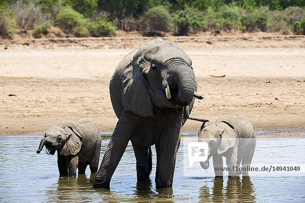 African elephant mother and two calfs drinking from Luangwa river (Loxodonta africana). South Luangwa National Park  Zambia.