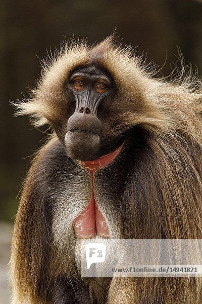 Gelada baboon portrait (Theropithecus gelada) Debre Sina. Ethiopia. Africa.