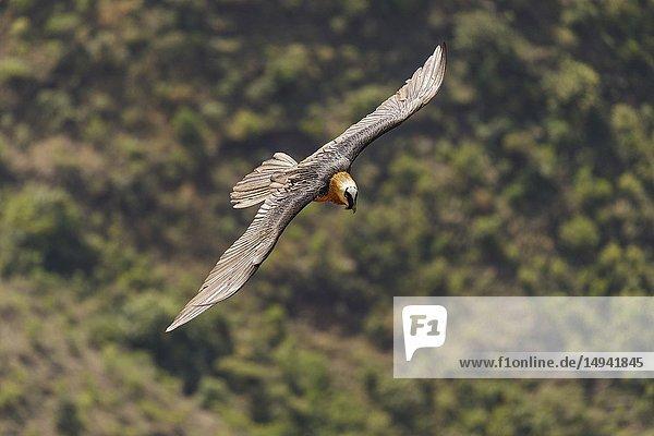 Lammergeier (Gypaetus barbatus) Lalibela. Ethiopia. Africa.