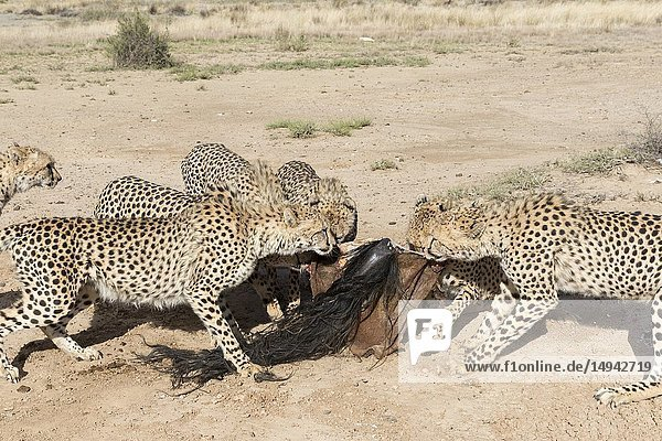South Africa  Private reserve  Cheetah (Acinonyx jubatus)  eating.