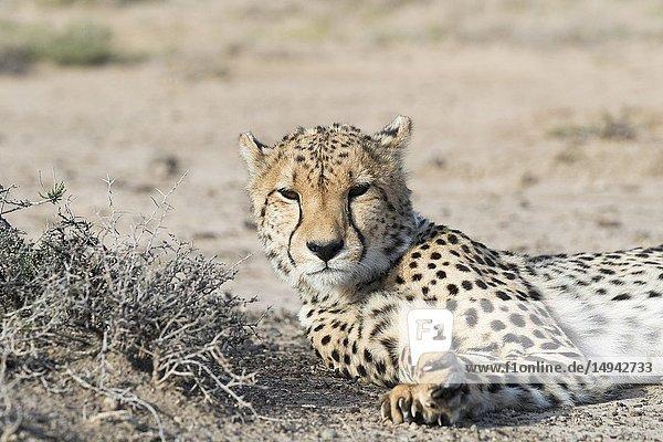 South Africa  Private reserve  Cheetah (Acinonyx jubatus)  resting.