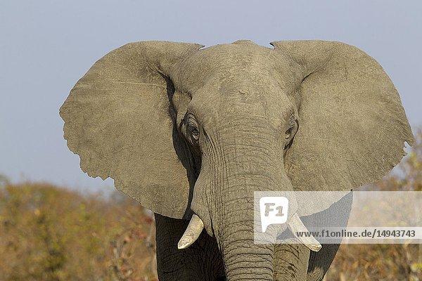 African Elephant (Loxodonta africana)  in the Savuti marsh. Chobe National Park  Botswana.