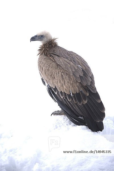 Griffon vulture in the snow (Gyps fulvus)  Pyrenees.
