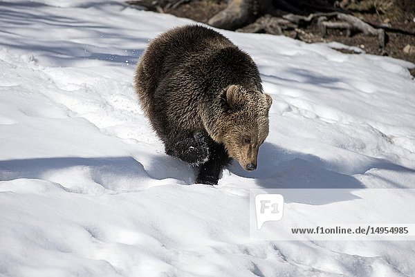 Brown bear running in the snow  end of winter (Ursus arctos)  Pyrenees.