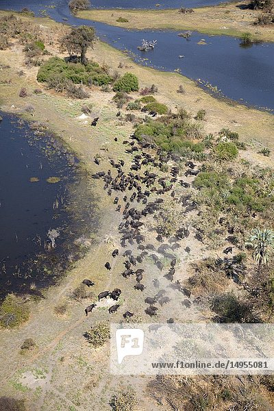 Aerial view of African buffalo or Cape buffalos group (Syncerus caffer). Okawango Delta  Botswana. The Okavango Delta is home to a rich array of wildlife. Elephants  Cape buffalo  hippopotamus  impala  zebras  lechwe and wildebeest are just some of the large mammals can be found in abundance  drawing in predators such as lions  leopards  African wild dog  cheetah and crocodile. The largest concentrations of wildlife are found during the rainless winter when the Delta is one of the few sources of water in the region.
