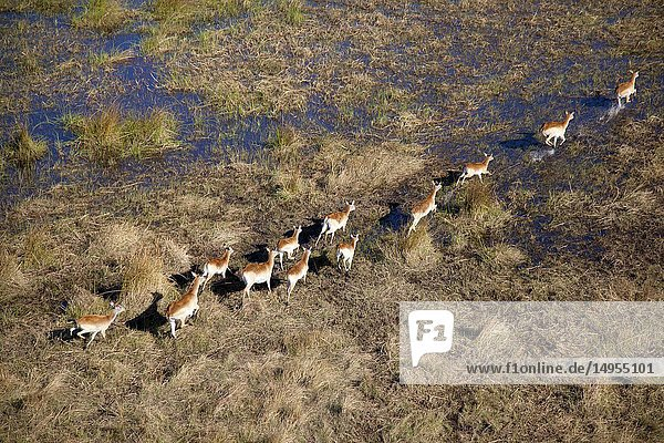 Red Lechwe (Kobus leche)  running in the floodplain  aerial view. Okavango Delta  Moremi Game Reserve  Botswana. The Okavango Delta is home to a rich array of wildlife. Elephants  Cape buffalo  hippopotamus  impala  zebras  lechwe and wildebeest are just some of the large mammals can be found in abundance  drawing in predators such as lions  leopards  African wild dog  cheetah and crocodile. The largest concentrations of wildlife are found during the rainless winter when the Delta is one of the few sources of water in the region.