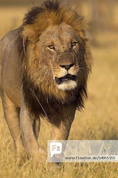 African lion (Panthera leo) - Male  Savuti  Chobe National Park  Botswana.
