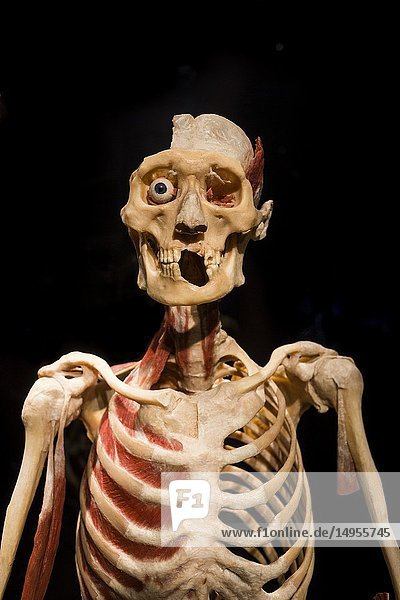 Skeletal system and skull detail at a Body World exhibition in Berlin,  Germany.