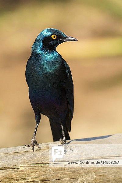 Cape starling (Lamprotornis nitens). Kruger National Park   South Africa