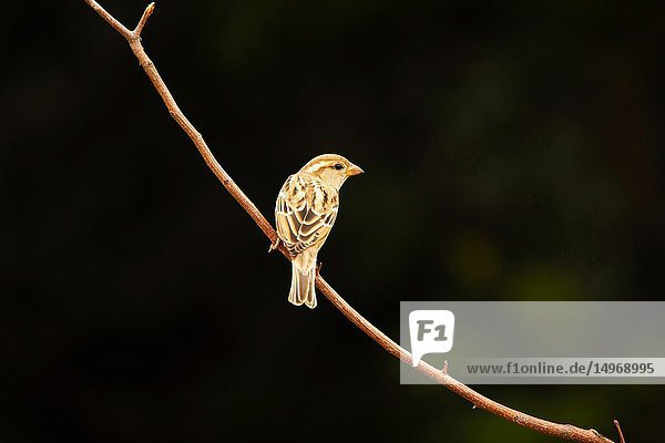 House Sparrow  Passer domesticus  Hampi  Karnataka  India.