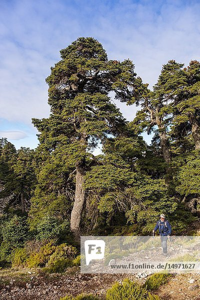 Hiking in nature. Biosphere Reserve. Natural Park Sierra de las Nieves. Spanish Fir Abies pinsapo. Ronda  Malaga province. Andalusia  Southern Spain. Europe.
