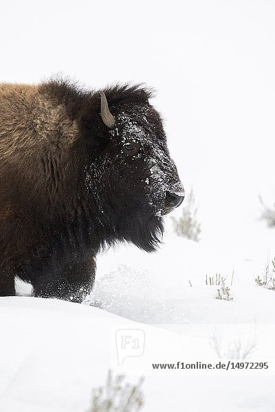 American bison ( Bison bison ) in winter  close-up  headshot  walking through high snow  Yellowstone National Park  Wyoming  USA..