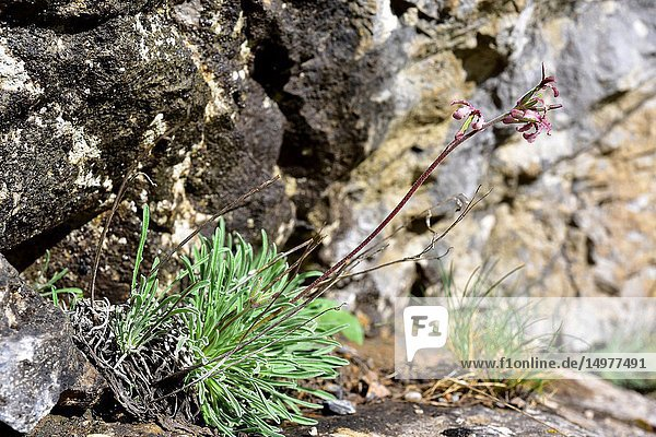 Matthiola perennis or Matthiola fruticulosa perennis is a perennial herb endemic to Cantabrian and Leon Mountains. This photo was taken in Babia  Leon  Castilla y Leon  Spain.