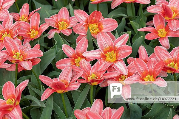 Derived from the Greek word 'leiron '   the lily was so revered by the Greeks that they believed it sprouted from the milk of Hera  the queen of the gods. Lilies are known to be the May birth flower  and the 30th wedding anniversary flower.