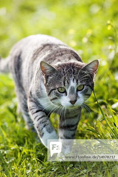 Silver tabby cat walking in the grass towards camera.