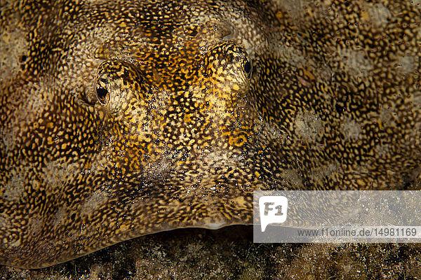 Unterwasseraufnahme eines gelben Stachelrochens  Nahaufnahme des Gesichts  Eleuthera  Bahamas
