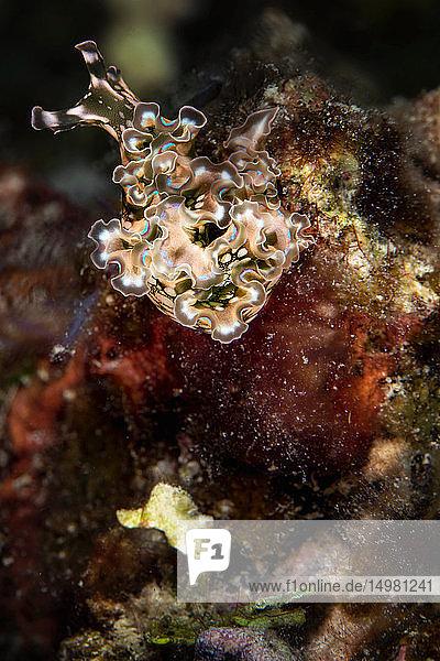 Unterwasseraufnahme einer Meeressalatschnecke  Nahaufnahme  Eleuthera  Bahamas