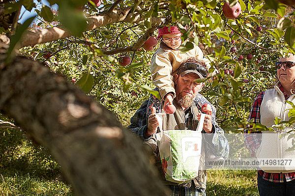 Vater und Tochter pflücken Äpfel vom Baum Vater und Tochter pflücken Äpfel vom Baum