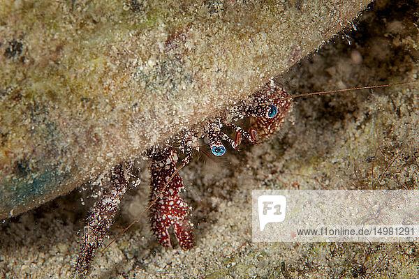 Unterwasseraufnahme eines großen Einsiedlerkrebses mit blauen Augen  Nahaufnahme  Eleuthera  Bahamas