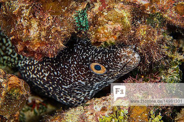 Unterwasseransicht einer gefleckten Muräne (Gymnothorax moringa)  die aus ihrem Versteck herausschaut  Eleuthera  Bahamas