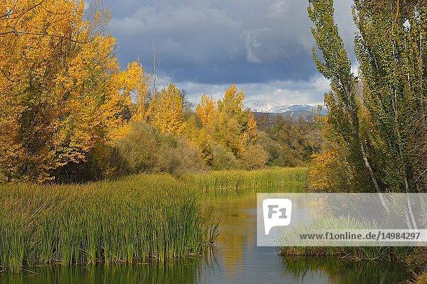 Riparian vegetation in Parque Regional río Manzanares. In the background the Guadarrama mountains. El Pardo  Madrid province  Spain