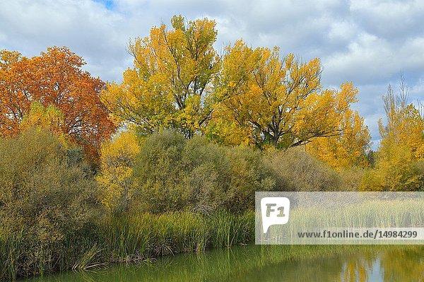 Riparian vegetation in Parque regional río Manzanares. El Pardo  Madrid Province  Spain