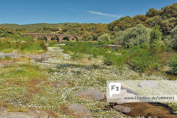 Aquatic vegetation (Ranunculus). Río Tormes  Avila province  Castile-Leon  Spain