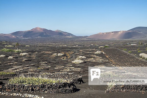 The typical Malvasia of the volcanic island. La Geria  Lanzarote. Spain.