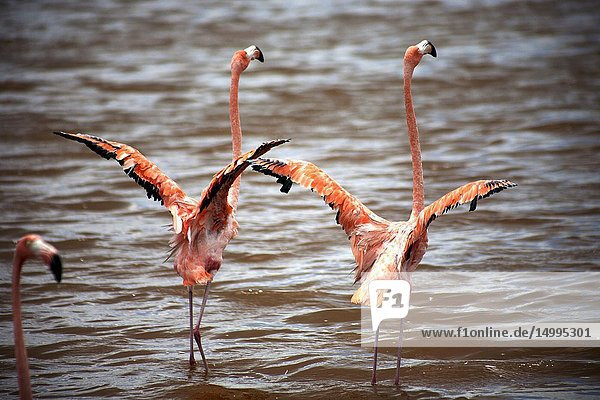 A couple of pink flamingos opening their wings in Celestun on Mexico's Yucatan peninsula  June 21  2009.