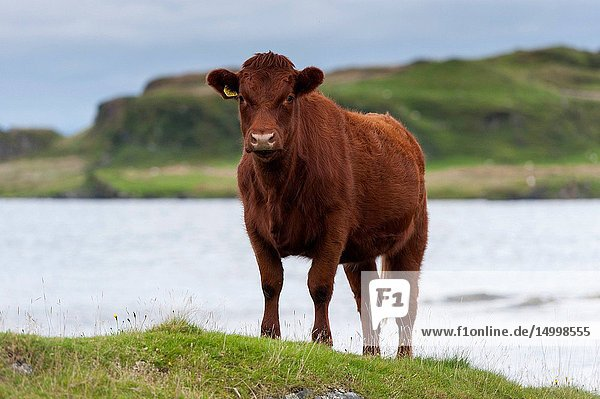 Luing cattle