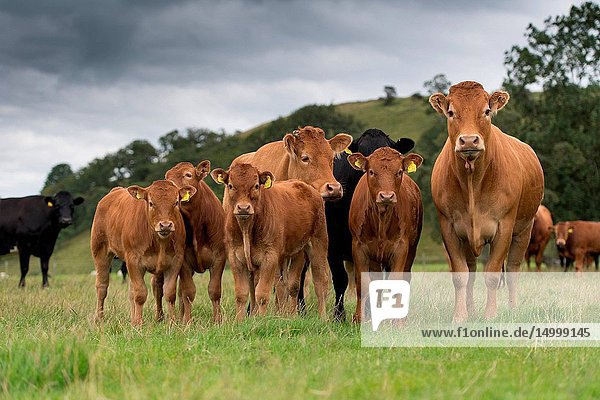 Herd of commercial beef suckler cattle with Limousin sired calves in the Yorkshire Dales
