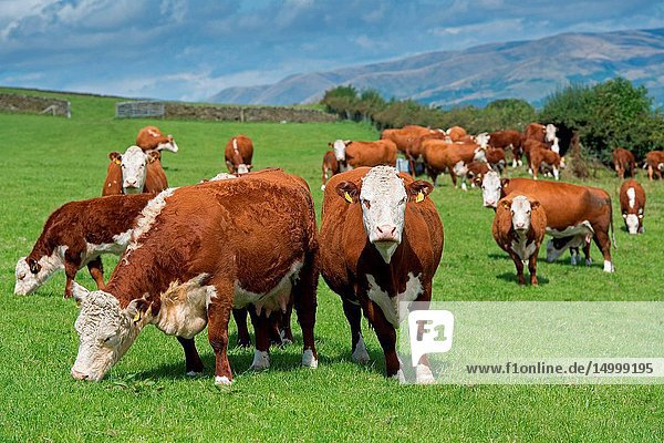 Herd of Hereford beef cattle in the English landscape