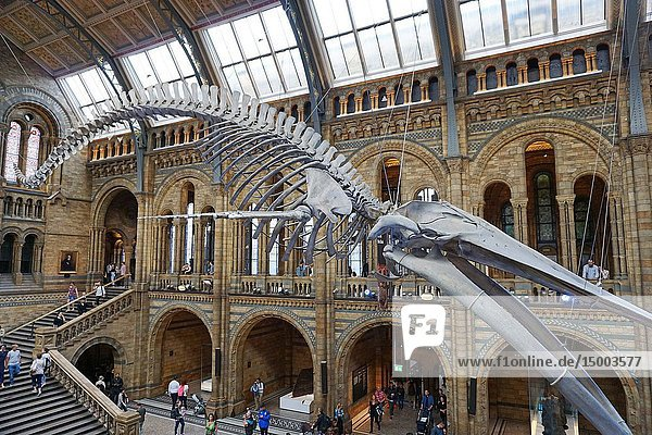 Museum of Natural History main hall with the skeleton of a blue whale. London  England  Great Britain.