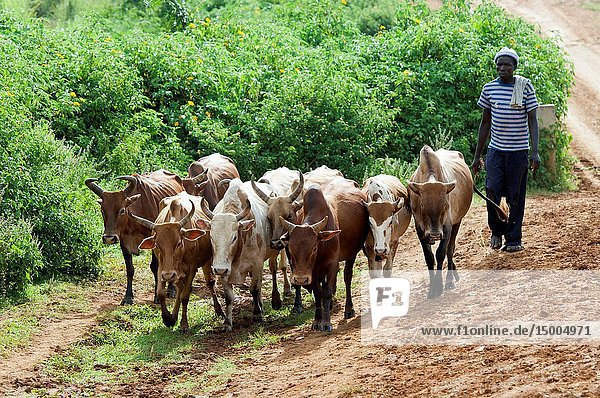 Herdnsman in Kenya moving traditional breed of cattle down road.