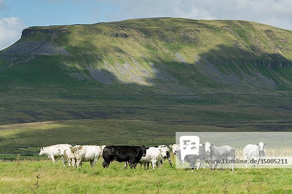 Herd of Pedigree British Blue cattle on upland pasture in North Yorkshire