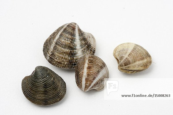 Saltwater clams (Chamelea gallina) on white background