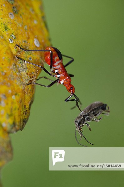 True Bug (Dindymus sp  Pyrrhocoridae Family  Heteroptera Suborder  Hemiptera Order) on leaf with prey (Weevil  Coleoptera Order  Curculionoidea Family) pierced by proboscis  Klungkung  Bali  Indonesia.