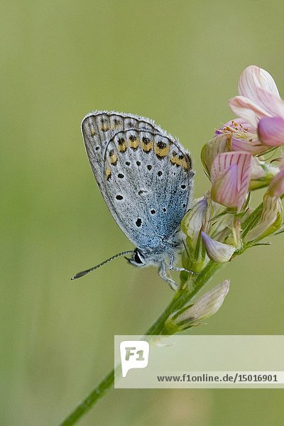 Idas Blue  Plebejus idas  on Sainfoin  Onobrychis. Lycaeides idas. Blue butterfly with blue eyespots on the upper edge back wing. Larval plants include: Cytisus  Genista  Melilotus  Lotus  Calluna  Anthyllis. Myrmecophilic. Larvae are tended by Formica and Lasius ants. Habitats: open grasslands  nutrient poor grasslands  pastures  scrublands and sandy soils. Flight: June-August. Endangered. Threatened.