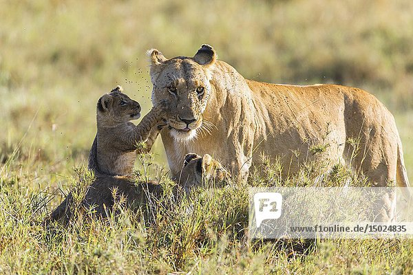 African Lion (Panthera leo) female with two cubs  Maasai Mara National Reserve  Kenya  Africa.