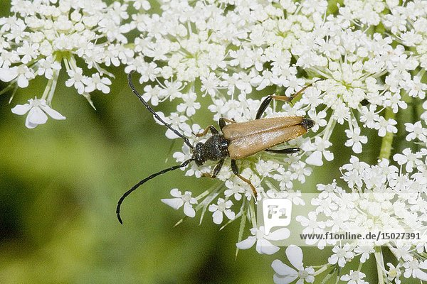 Longhorn Beetle  Anastrangalia dubia. Longhorn beetle with long narrow body with chestnut elytra that are sharply tapered. Size: 8-16mm. Found on flowers  notably umbellifers. Femalesare usually reddish and males brown. larvae are wood-boring on coniferous and deciduous trees.