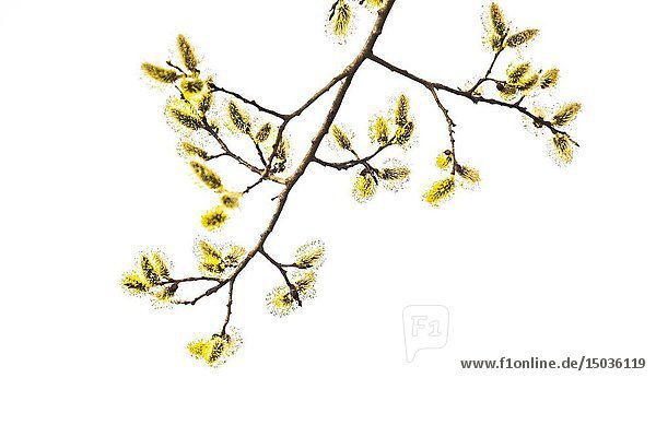 Closeup of yellow fluffy buds of willow against a white background.