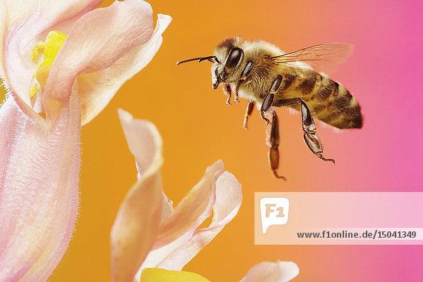 Honigbiene  Apis mellifera  Deutschland  Europa