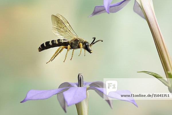 Gelbbindige Furchenbiene  Halictus scabiosae  Deutschland  Europa