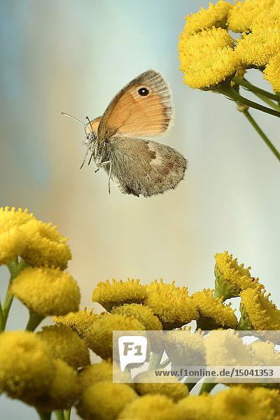 Kleines Wiesenvögelchen  Coenonympha pamphilus  Deutschland  Europa