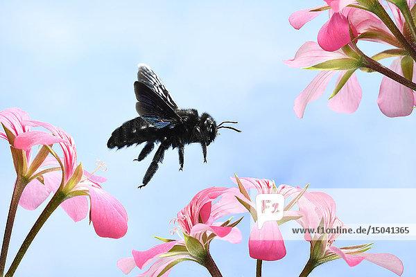 Violette Zimmermanns-Biene,  Xylocopa violacea,  Deutschland,  Europa