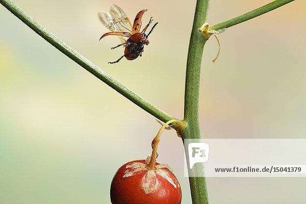 Zwöflpunkt-Spargelkäfer  Crioceris duodecimpunctata  Deutschland  Europa