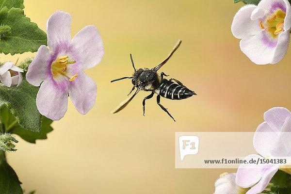 Blattschneide-Kuckucksbiene,  Coelioxys inermis),  Deutschland,  Europa