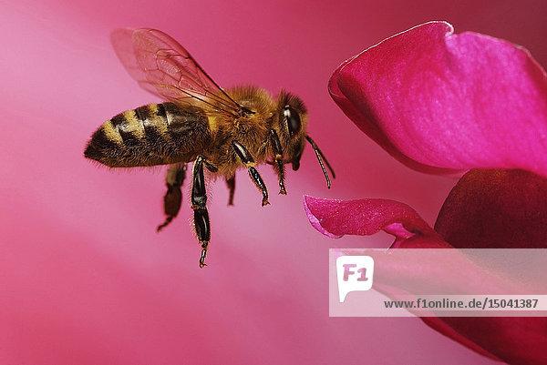 Honigbiene,  Apis mellifera,  Deutschland,  Europa