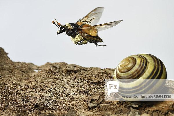 Totengräber  Nicrophorus vespillo  Deutschland  Europa