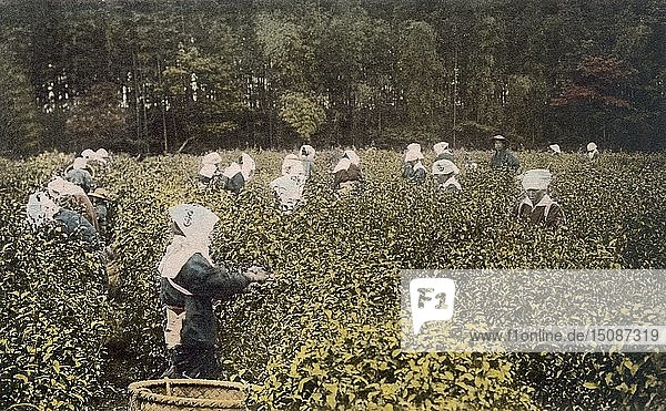 Women picking tea  with male overseer  1890's. Creator: Japanese Photographer (19th Century).